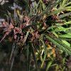 Peru's conservative leadership legalizes medical marijuana